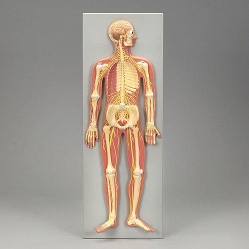 Altay Human Nervous System Model