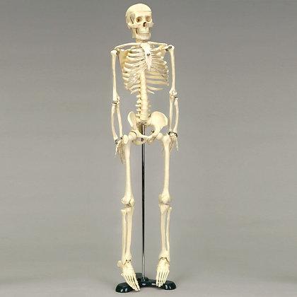 Economy Desktop Miniature Skeleton