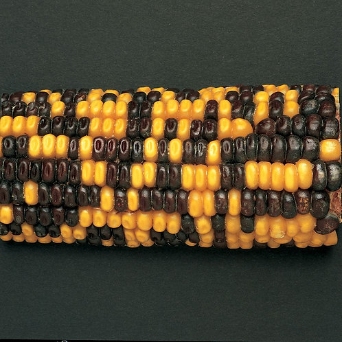 Corn Segregating Ear, R Color Alleles 1:1