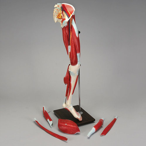 Altay Human Muscular Leg Model