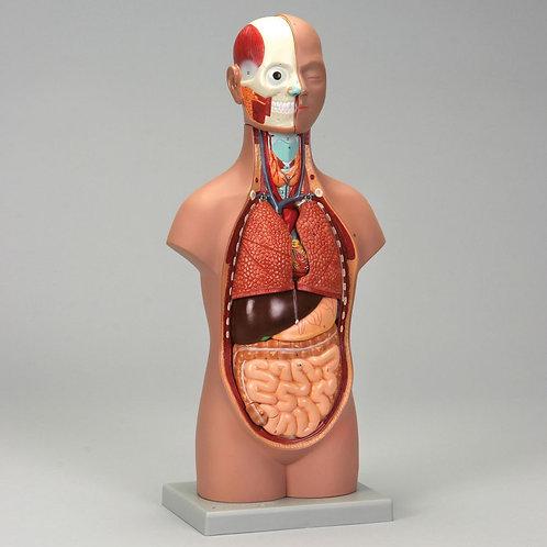 Altay Human Miniature Torso Model