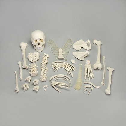 Altay® Disarticulated Human Half Skeleton
