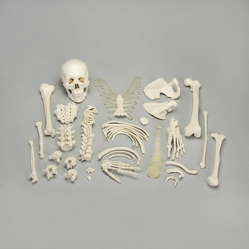 Altay® Disarticulated Human Half Skeleton