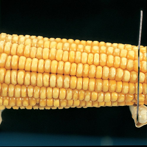 Corn Segregating Ear, Wx Endosperm Alleles 3:1