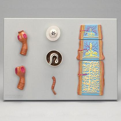 Altay Comparative Tapeworm Set