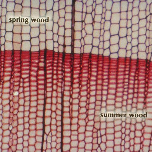 American Basswood 15 µm Microscope Slide