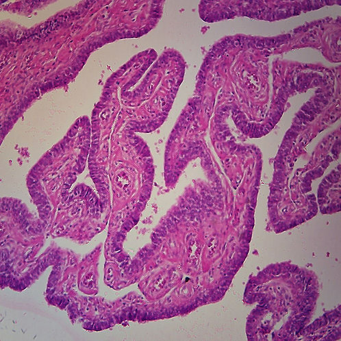 Human Fallopian Tube Microscope Slide