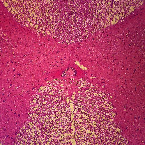 Mammal Spinal Cord Microscope Slide