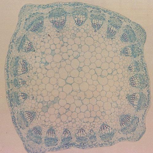Alfalfa Stem 12 µm Microscope Slide