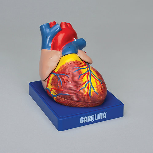 Carolina® Human Heart Model