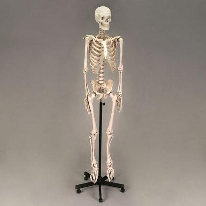 Altay Economy Plastic Human Skeleton
