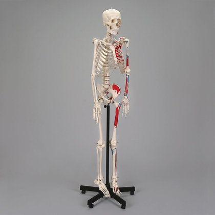 Economy Human Muscular Skeleton, Rod-Supported