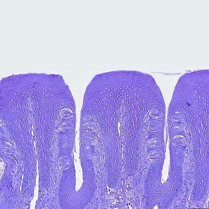 Digestive Tract Microscope Slide Set