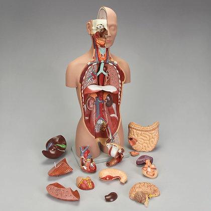 Altay Human Sexless Torso Model
