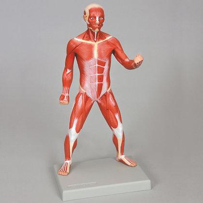 Altay Miniature Human Muscular Figure
