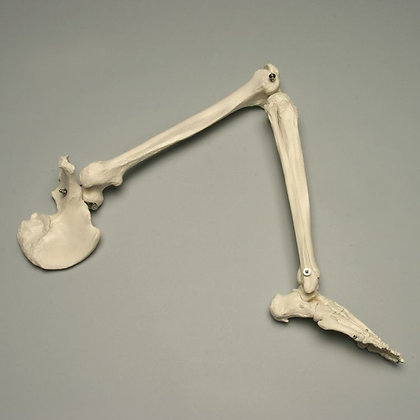 Altay Human Skeleton of Lower Limb with Half Pelvis