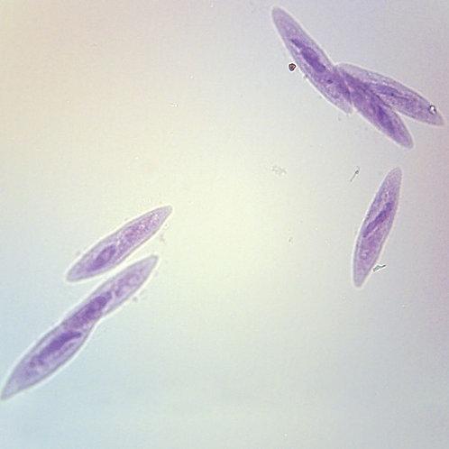 Paramecium Slide