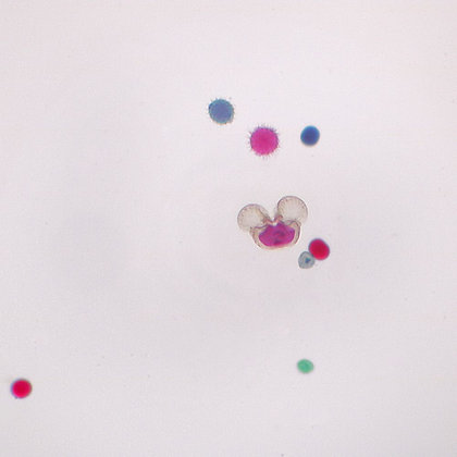 Germinated Pollen, w.m. Microscope Slide