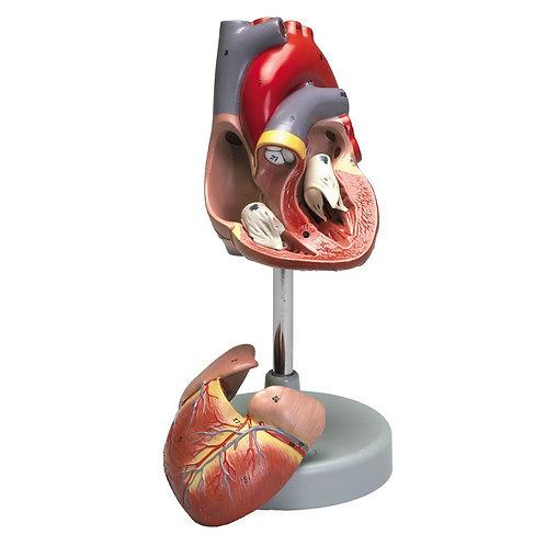 Altay Human Heart Model