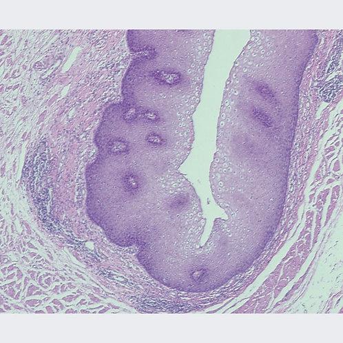 Mammal Stratified Squamous Epithelium Microscope Slide