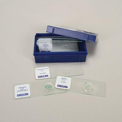 Beginner's Algae Microscope Slide Set