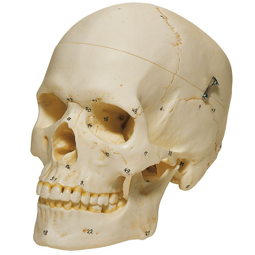 Human Female Skull, Bones Number Coded, Plastic