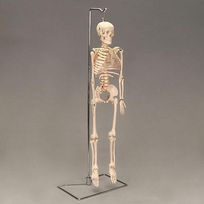 Desktop Miniature Skeleton