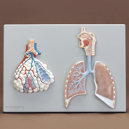 Altay Human Respiratory System Model, 2-parts