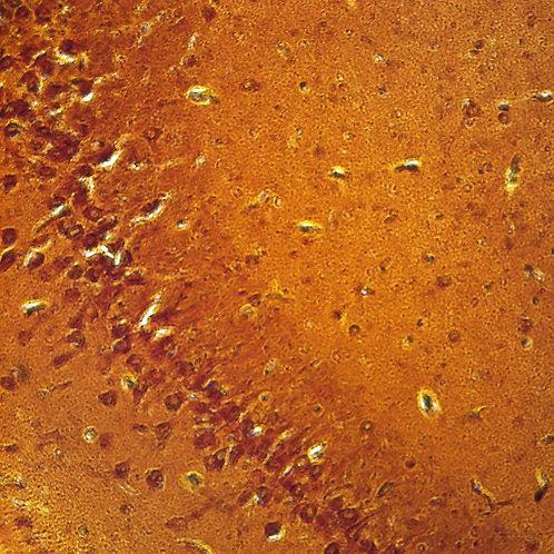 Mammal Cerebrum Pyramidal Neurons silver stain Microscope Slide