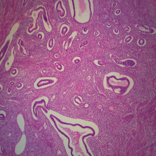 Human Uterus Microscope Slide