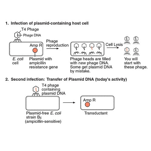 Transduction of an Antibiotic-Resistance Gene Kit (with perishables)