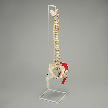 Altay Flexible Vertebral Column with Femur Heads and Muscle Insertions
