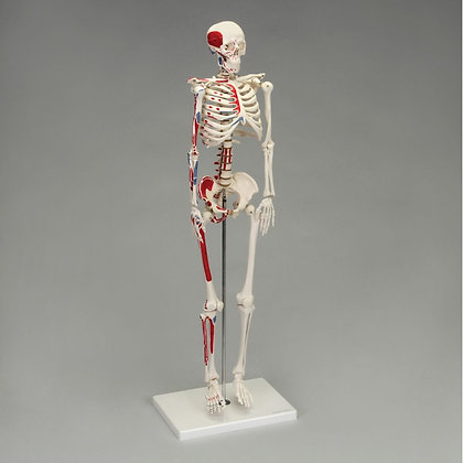 Desktop Miniature Muscular Skeleton