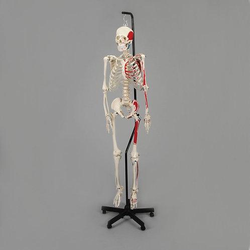 Economy Human Muscular Skeleton, Hang-Up