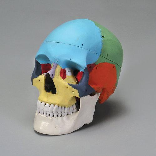 Carolina® Human Skull, Color Coded, Plastic