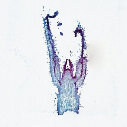 Coleus Stem Tip 12 µm General Structure Microscope Slide