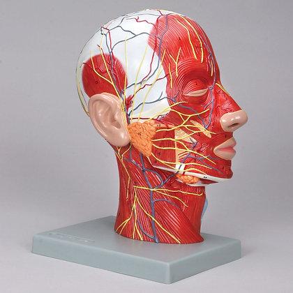Altay Human Half Head Model, Life Size