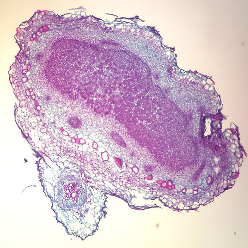 Legume Nodule,  12 µm Microscope Slide