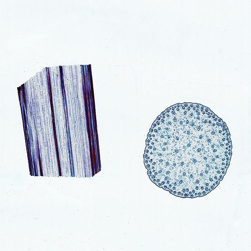 Corn Stem Microscope Slide