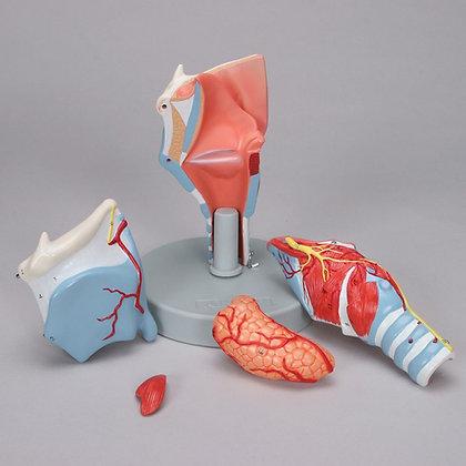 Altay Human Larynx Model