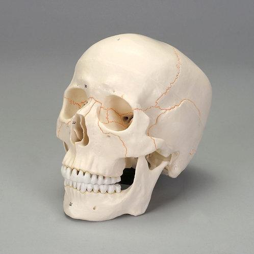 Altay Economy Human Skull