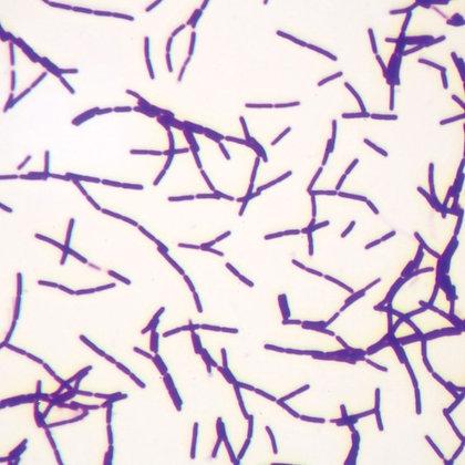 Bacillus megaterium (Typical Bacillus), w.m. Microscope Slide