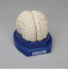 Carolina® Human Brain Model