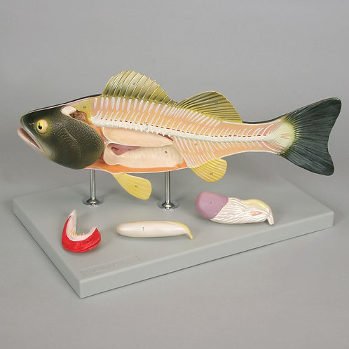 Altay Fish Dissection Model