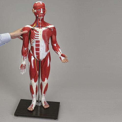 Altay Human Sexless Muscular Figure