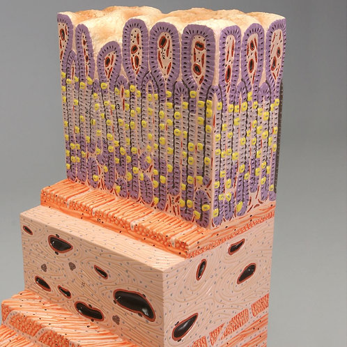 Altay Microstructure of the Stomach Wall Model