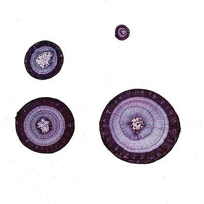 Basswood Stem Combination 12 µm Microscope Slide