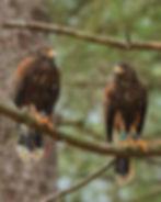 IMG_7131 - harris hawks - Copy.jpg