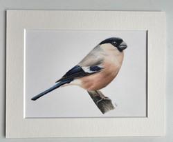 Female Bullfinch - Original