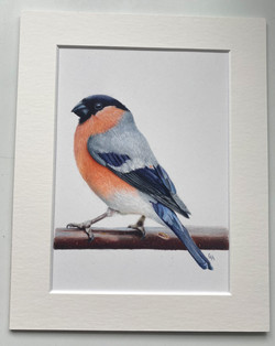 Male Bullfinch - Original